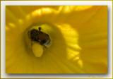 close-up bumblebee
