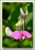 reukerwtjes Lathyrus odoratus