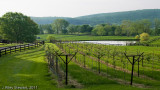 Chrysalis Vines