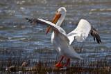 Pelicans at Big Bear Lake