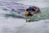 Harbor Seal at Haines Alaska.