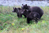 Grizzly Bears  - in the wild