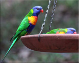 Feed time for lorikeets