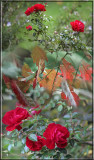 Red roses and autumn vine