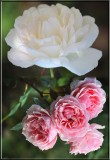 Trudys roses