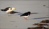 Plover meets gull