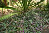 Hardenbergia in flower