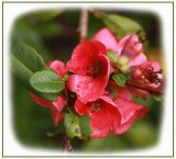 Flowering quince blossom