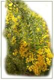 Cascade of acacia