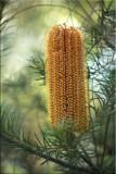Banksia ericafolia