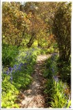 Pathway lined with Muscari