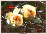 Last  winter roses