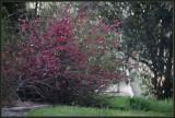 Ornamental Quince Blossom