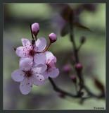 Ornamental Plum blossom