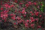 More Quince blossom