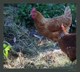 Granddaughter's chickens