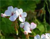 White single pelargonium