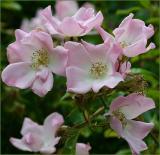 Katie Pianto rose