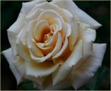 White Roses Down Under - 2005-2006 GALLERY