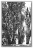 Copse of gumtrees in the park