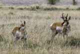 Prong Horn Deer - Grand Teton National Park