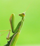 Praying Mantis - Aug 15, 2012