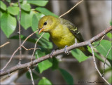 Tanagers and Orioles
