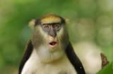 Campbell's Mona Monkey