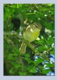 Wood Warbler -