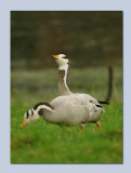 Bar Headed Goose - Anser indicus