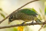 Green Catbird - Ailuroedus crassirostris