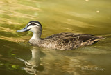 Black Duck -  Anas superciliosa