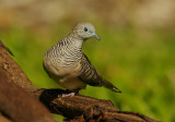 Peaceful Dove - Geopelia placida