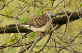 Bar Shouldered Dove - Geopelia humeralis