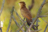 Pheasant Tailed Coucal - Centropus phasianinus