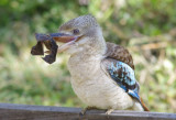 Blue- Winged Kookaburra - Dacelo leachii