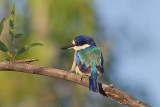 Forest Kingfisher - Todiramphus macleayii