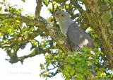 Cuckoo - Cuculus canorus 47