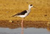 Himantopus himantopus leucocephalus Pied Stilt -