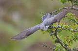 Cuckoo - Cuculus canorus 17