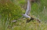 Cuckoo - Cuculus canorus 14