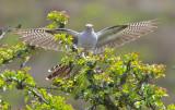 Cuckoo - Cuculus canorus 13