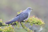Cuckoo - Cuculus canorus 43