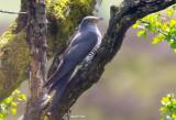 Cuckoo - Cuculus canorus 36
