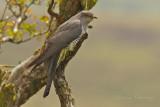 Cuckoo - Cuculus canorus 38