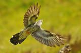 Cuckoo - Cuculus canorus 18