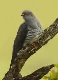 Cuckoo - Cuculus canorus 40