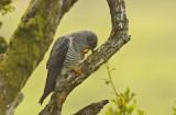 Cuckoo - Cuculus canorus 41