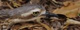 Bush Stone Curlew - Burhinus grallarius