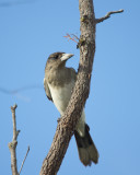Pied Butcher Bird - Cracticus nigrogularis